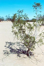 Photo: Creosote bush.