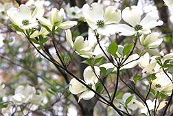 Photo: Cherokee Princess dogwood.