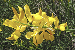 Photo: Scotch broom flowers. Link to photo information
