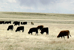 Photo: A small herd of cattle on a grassy range. Link to photo information