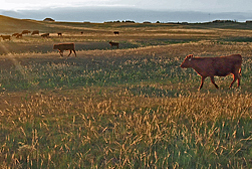 Photo: Cattle grazing on rangeland. Link to photo information