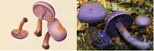 Photo: Bolton's watercolor of Agaric violaceus beside a photograph of Agaric violaceus.