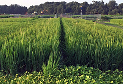 Photo: Taller weedy red rice scattered among cultivated rice in a field. Link to photo information