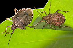 Photo: Two Brown Marmorated Stink Bugs. Link to photo information