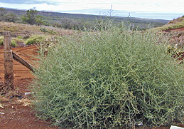Photo: Russian thistle. Link to photo information
