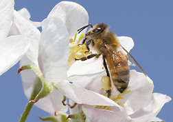 Honey bee on an apple blossom.