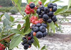 Photo: Nocturne blueberry. Link to photo information