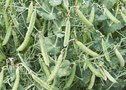 Photo: Hampton peas growing in a field. Link to photo information