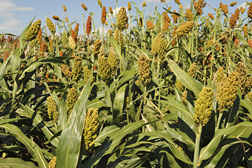Field of sorghum.