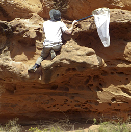 A graduate student scales a sandstone rock face to capture bee specimens.