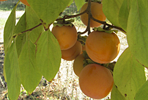 Photo: Persimmons. Link to photo information