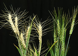 Healthy wheat and wheat infected with head blight