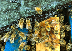 Honey bees feeding on blue-green microalgae.