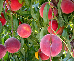Rich Joy peaches ripening on the tree