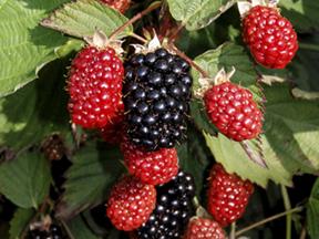 Twilight blackberries