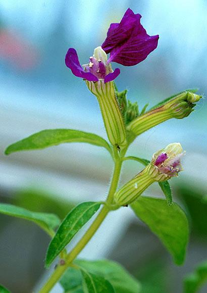 cuphea flower