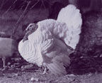 photo of Beltsville small white turkey