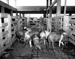 historical photo of hogs
