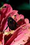 photo of Japanese beetle.