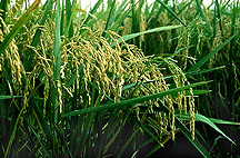 photo of Lemont rice plants