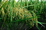 photo of rice plants