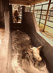 photo of cattle going through insecticide dip