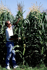 scientist standing among hybrid corn plants