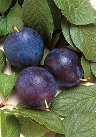 photo of Bluebyrd plum
