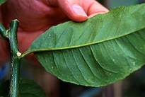 photo of leaf with viroid damage