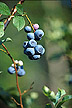 photo of highbush blueberries