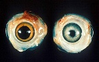 photo of normal chicken eye and one with Marek's disease
