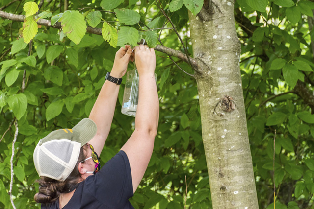 Jacqueline Serrano hangs bottle trap with an experimental lure