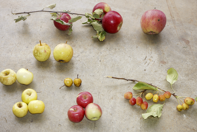 Wild apples and modern apple.