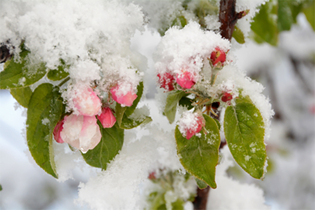 Wild apples growing on a snow covered tree
