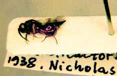picture of card-mounted chalcid wasp