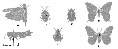 diagram showing proper pin placement for mounting various types of insects