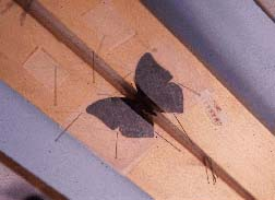 photo of butterfly on a spreading board