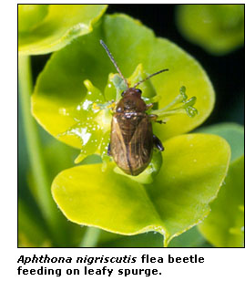 Photograph of an Aphtona nigriscutis flea beetle feeding on leafy spurge.