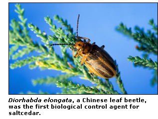 Chinese leaf beetle.