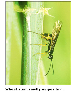 Photograph of a wheat stem sawfly ovipositing.