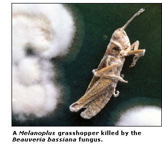 view of grasshopper killed by fungus