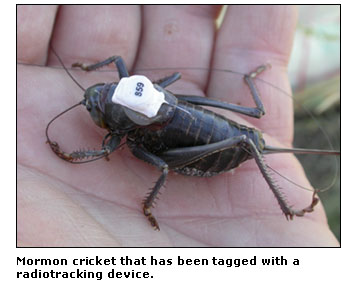 Photograph of a mormon cricket with a radiotracking device on its back.
