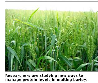 photo of malt barley field