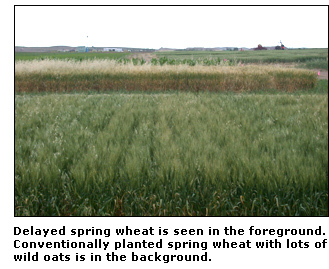 Photograph of delayed spring wheat seen in the foreground with conventionally planted spring wheat with wild oats in the background.