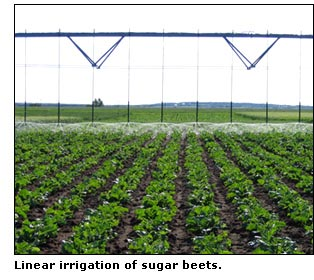 Center pivot irrigation of sugar beets