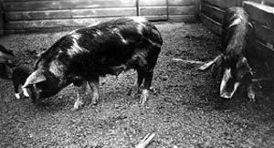 Sows and piglets in a barn at the National Animal Disease Laboratory