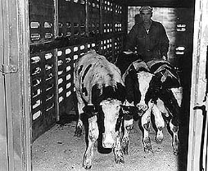 A special herd of breeding cattle, which had been maintained Brucella-free for more than 20 years, was transported from Beltsville, Maryland to the National Animal Disease Laboratory in 1961 by special train.