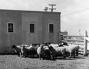 Sheep outside an NADC barn in 1965