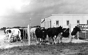 Cattle outside an NADC barn in 1965