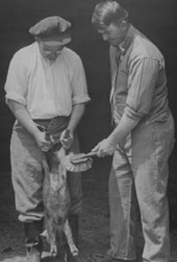 Preparing to vaccinate a pig against hog cholera